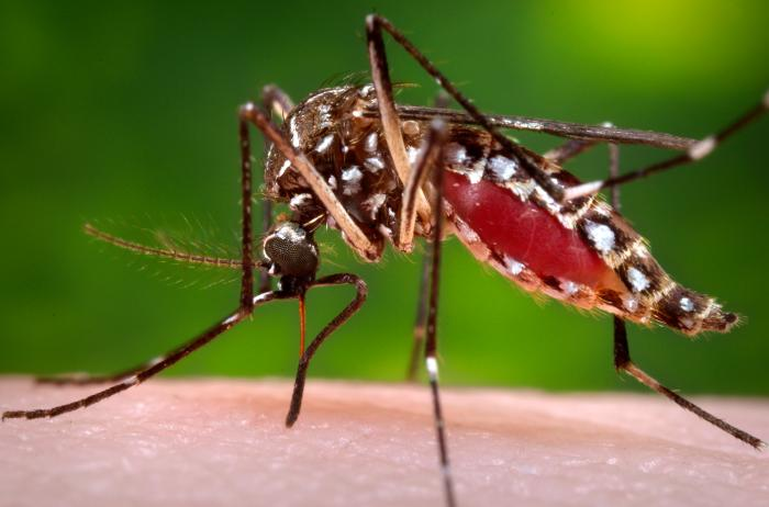 Homeopathic medicines for dengue